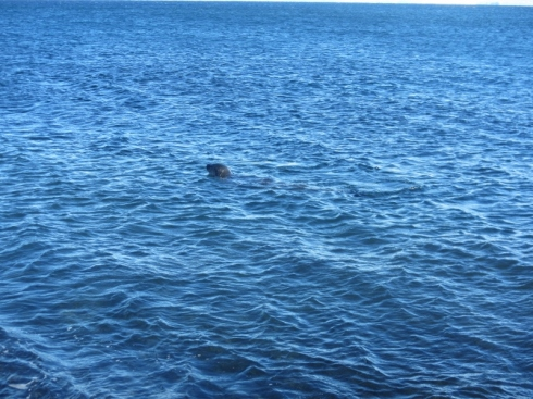 Seal 30 feet offshore